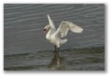 A Swan in the river Suir, Waterford, click here..