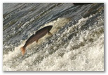 Salmon and Seatrout jumping in river Nore, click here..