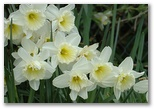 Daffodils and Spring in Ireland, click here..